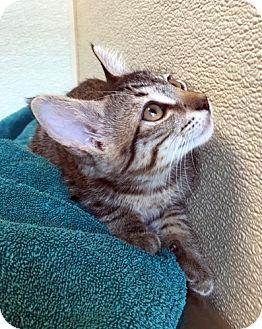 Domestic Shorthair Kitten for adoption in North Las Vegas, Nevada - Beth