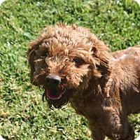 Adopt A Pet :: Lilo - Henderson, NV