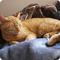 Adopt A Pet :: Big Red - Vancouver, BC