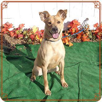 Shepherd (Unknown Type)/Labrador Retriever Mix Dog for adoption in Marietta, Georgia - GOLDIE