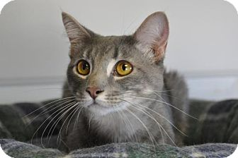 Domestic Shorthair Cat for adoption in Wagoner, Oklahoma - Sugar