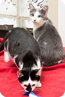 Domestic Shorthair Cat for adoption in Chicago, Illinois - Tweety and Sylvester