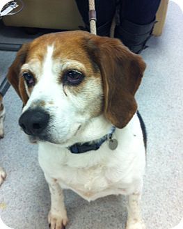 Beagle Dog for adoption in Minnetonka, Minnesota - Strider