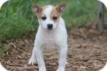 Chihuahua/Jack Russell Terrier Mix Puppy for adoption in Russellville, Kentucky - Ollie