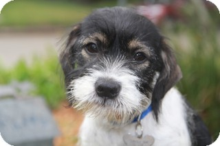 Terrier (Unknown Type, Small) Mix Puppy for adoption in Norwalk, Connecticut - Clive