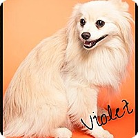 Adopt A Pet :: Violet - Escondido, CA