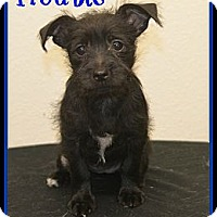 Adopt A Pet :: Trouble - Plano, TX