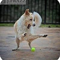 Adopt A Pet :: Poppy - Westfield, MA