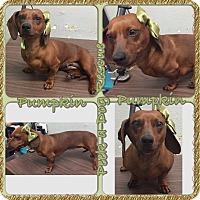 Adopt A Pet :: Pumpkin - South Gate, CA