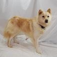 Golden Retriever/Chow Chow Mix Dog for adoption in Jackson, Mississippi - Liz