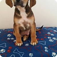 Adopt A Pet :: Yoshi - Westminster, CO