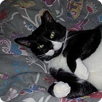 Adopt A Pet :: SUNDAE - Delicious Kitty'14 - New York, NY