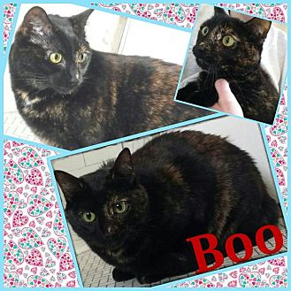 Domestic Shorthair Cat for adoption in St. Louis, Missouri - Boo (Courtesy Posting)