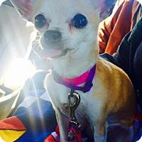 Adopt A Pet :: Piper Sanders - Manhattan Beach, CA