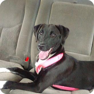 Labrador Retriever/English Pointer Mix Puppy for adoption in Palm Harbor, Florida - Lennox