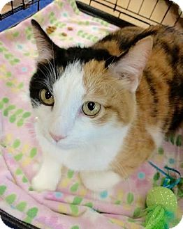 Calico Cat for adoption in Maryville, Tennessee - Pippa