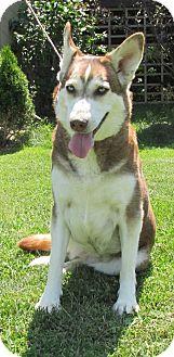 Siberian Husky Dog for adoption in WOODSFIELD, Ohio - MYA ~ SWEET GIRL