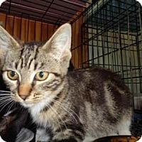 Domestic Shorthair Kitten for adoption in Breinigsville, Pennsylvania - Paris