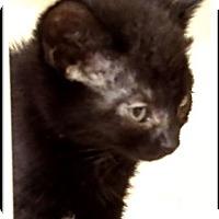 Adopt A Pet :: PERSEUS - Red Bluff, CA
