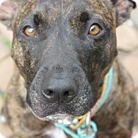 Adopt A Pet :: Brandi - Mayer, MN