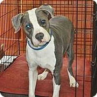 Boxer/Terrier (Unknown Type, Medium) Mix Dog for adoption in Hardeeville, South Carolina - Banjo