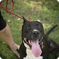 Adopt A Pet :: Shaba - Daleville, AL