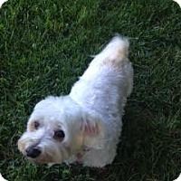 Maltese Mix Dog for adoption in Washington, D.C. - Scooter