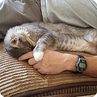 Domestic Mediumhair Cat for adoption in Yuma, Arizona - Lavendar