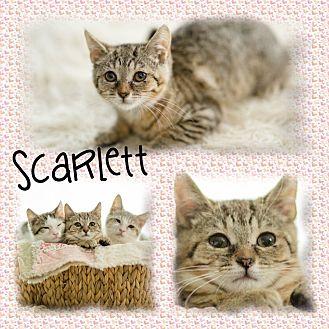 Domestic Shorthair Kitten for adoption in DOVER, Ohio - Scarlett