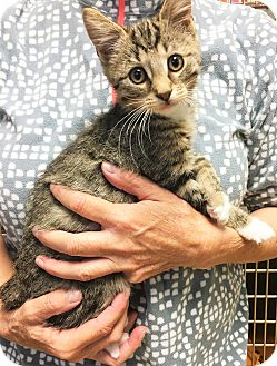 Domestic Shorthair Kitten for adoption in Toledo, Ohio - Barley