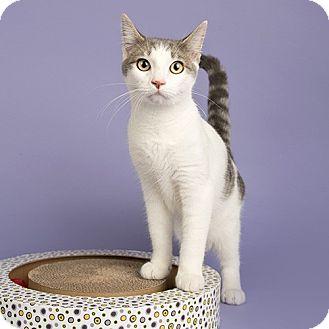 Domestic Shorthair Cat for adoption in Wilmington, Delaware - Duke