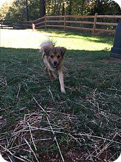 Sheltie, Shetland Sheepdog/Pomeranian Mix Dog for adoption in Charlotte, North Carolina - Lulu