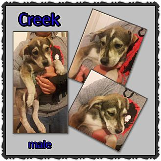 Husky/Shepherd (Unknown Type) Mix Puppy for adoption in Richmond, California - Creek