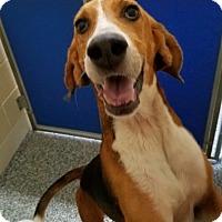 Adopt A Pet :: Buddy - Hendersonville, NC