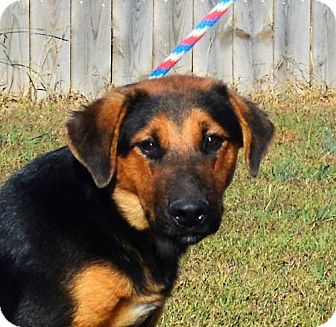 German Shepherd Dog/Shepherd (Unknown Type) Mix Dog for adoption in Mukwonago, Wisconsin - **TREY** MEET DEC 17TH!