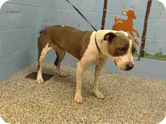 Pit Bull Terrier Dog for adoption in San Bernardino, California - URGENT ON 11/26 San Bernardino