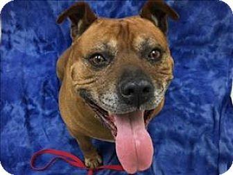 American Pit Bull Terrier Mix Dog for adoption in Portland, Oregon - Jupiter