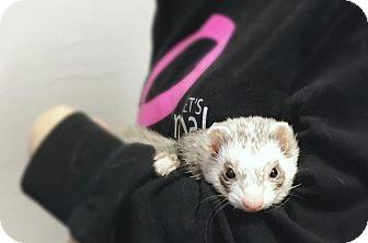 Ferret for adoption in Pasco, Washington - Hamilton