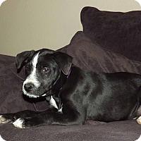 Adopt A Pet :: Alvin - Phoenix, AZ