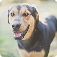 Adopt A Pet :: Beau - Austin, TX