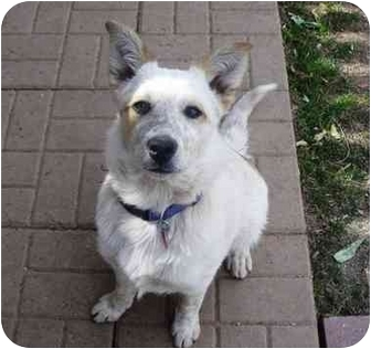 "Australian Cattle Dog Mix Dog for adoption in Phoenix, Arizona - Jamie (aka ""Smarty Pants"")"