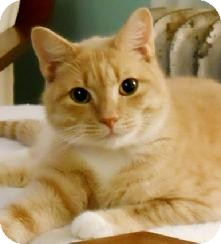 Domestic Shorthair Cat for adoption in Medford, Massachusetts - Charles