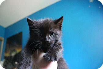 American Shorthair Kitten for adoption in Douglas, Ontario - Hershey