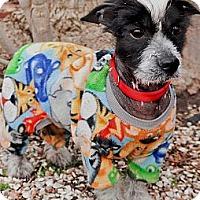 Adopt A Pet :: Rock Star - Bridgeton, MO