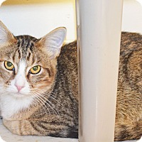 Domestic Shorthair Cat for adoption in Lincoln, Nebraska - Whatchamacallit