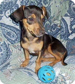 Miniature Pinscher Dachshund Mix Puppy For Adoption In San