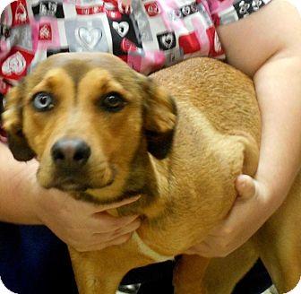 German Shepherd Dog/Australian Shepherd Mix Dog for adoption in Alexandria, Virginia - Ruca