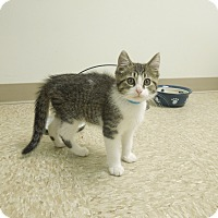 Adopt A Pet :: Dibbles - Medina, OH