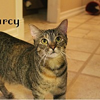 Domestic Shorthair Cat for adoption in Wichita Falls, Texas - Darcy