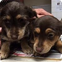 Adopt A Pet :: Pupppies - Canoga Park, CA